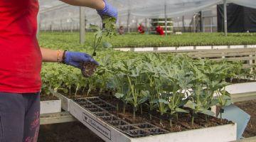 El Plantel ofrece el repicado entre sus servicios como semillero