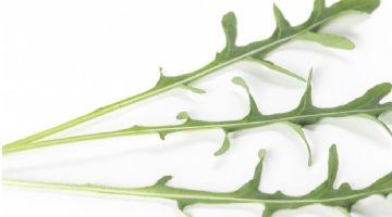 Rijk Zwaan presenta nuevas variedades de rúcula