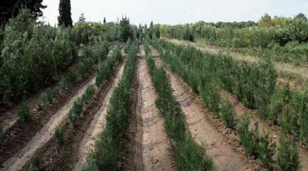 Extremadura llevar a cabo un proyecto de micorrizacin de for Proyecto productivo de vivero forestal