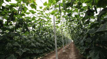 Fitó muestra en campo la calidad y potencial productivo de Caoba, su nuevo pepino holandés con genética SmartQ
