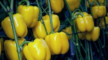 Mikonos: el california amarillo de siembras tardías más demandado por comercializadoras por su calidad y calibre para exportación