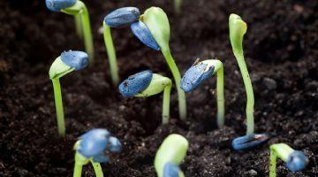 Syngenta anuncia la introducción mundial del novedoso tratamiento fungicida para semillas Vayantis