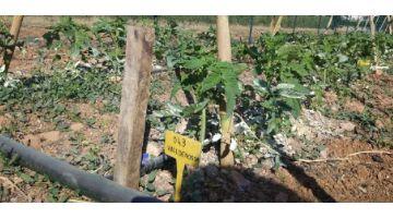 Baleares realiza tareas de regeneración de algunas variedades locales de hortalizas del banco de semillas del IRFAP