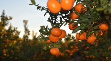 Nace la Asociación de Productores de la variedad de mandarina Spring Sunshine