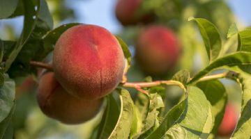 La CE lanza nuevo catálogo de variedades de plantas frutales online