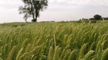La disponibilidad de agua marcó la adaptación de las variedades locales de trigo duro en el Mediterráneo