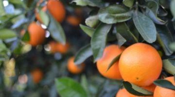 El IVIA realizará trabajos relacionados con los exámenes técnicos de identificación varietal de cítricos y determinados frutales