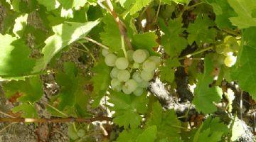 El rufete serrano blanco, variedad de uva autorizada en Castilla y León