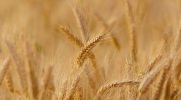 """Critican a los obtentores de semillas por su """"persecución a los agricultores"""""""