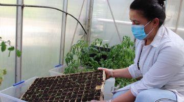 Germinan las primeras semillas de tomate 'Poncho negro' del proyecto PASSA llevado a cabo por INIA Chile
