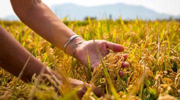 Variedades de arroz tolerantes a la salinidad y resistentes a los hongos, clave para el futuro del arroz en el Delta del Ebro